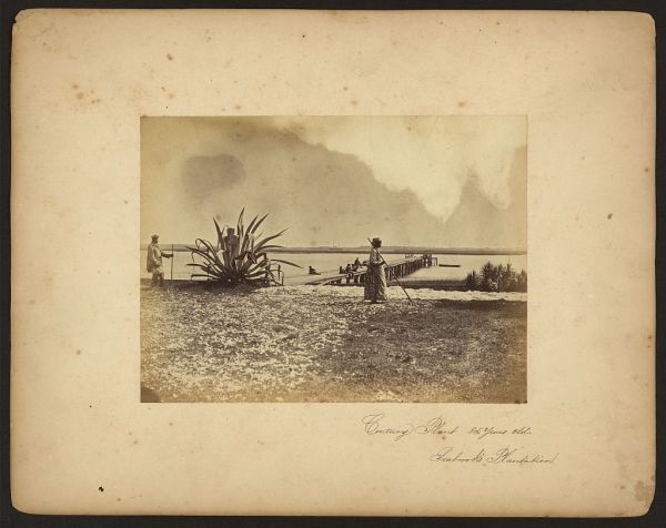 1862-Moore-CenturyPlant-Seabrook's-Cotton-11374v